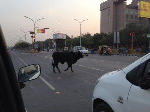 Cow Highway in India